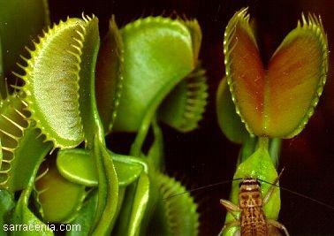 Dionaea muscipula, the Venus' flytrap